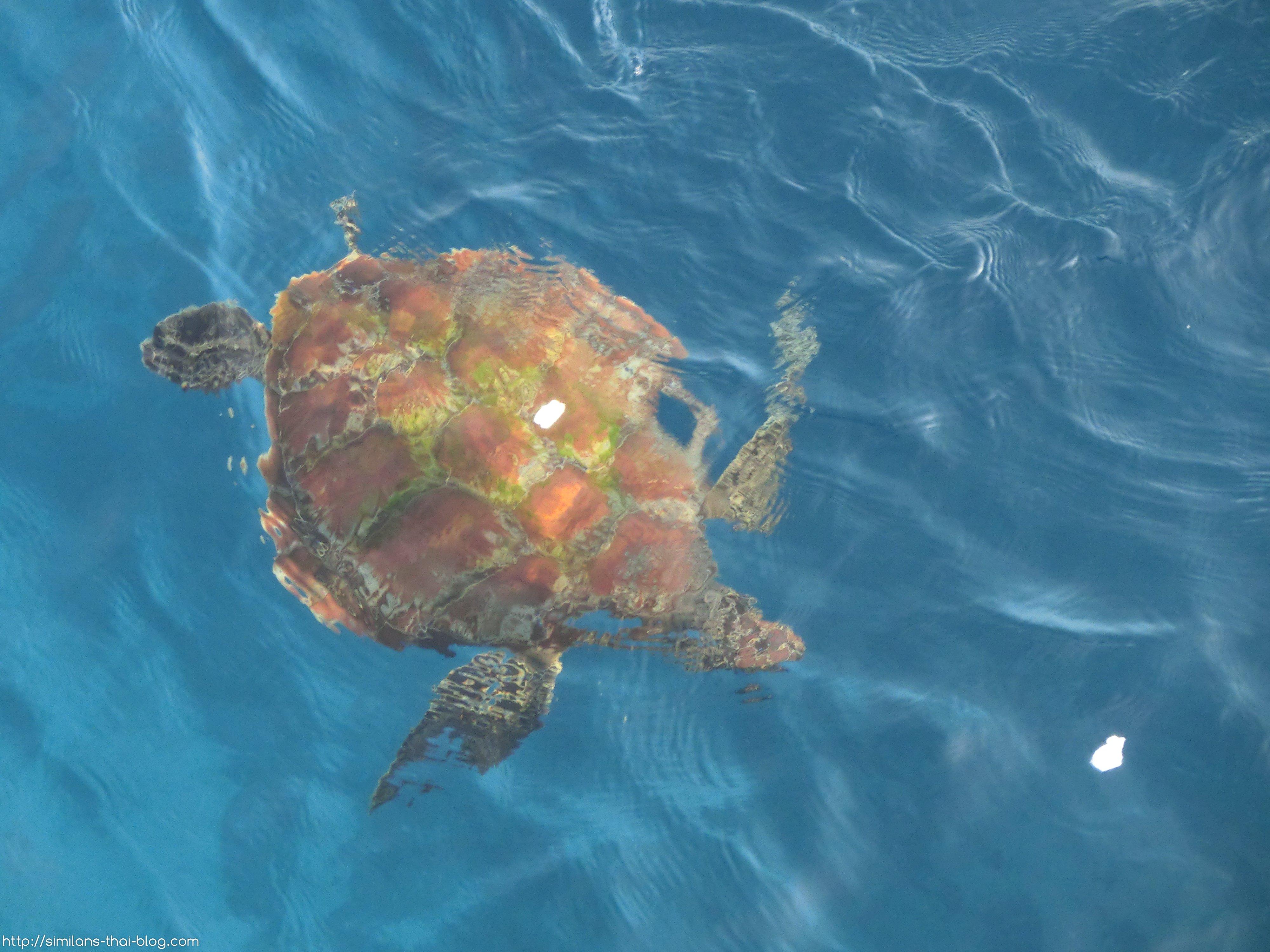similan-beach-turtle
